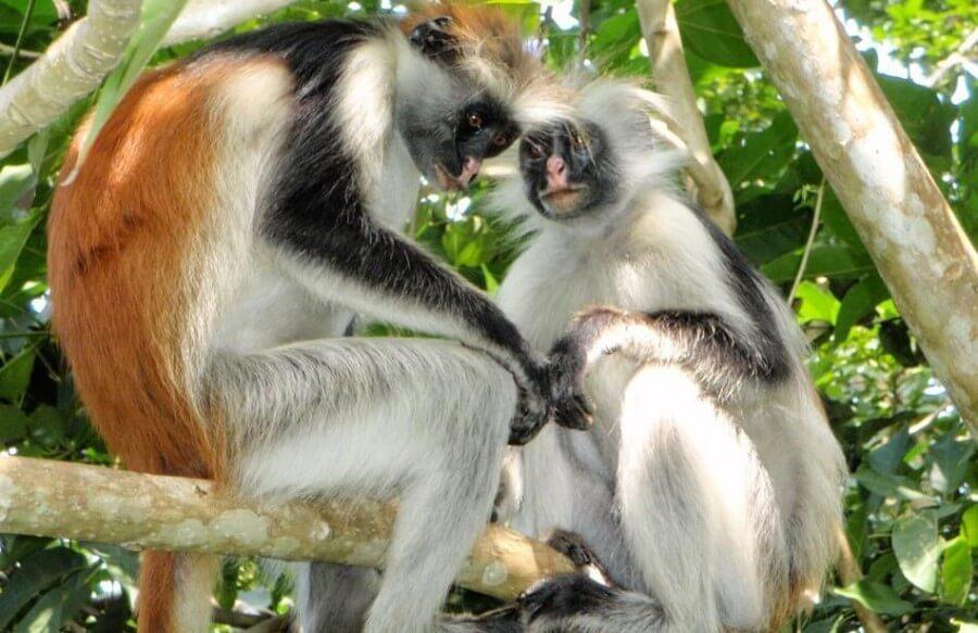 red-collobus-monkey